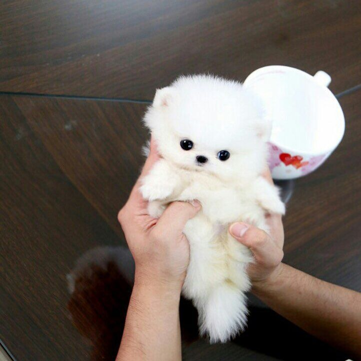 Tiny Snowball Is For Sale Text Call Whatsapp 1 403 891 6028 Tiny Puppies Teacup Puppies Cute Baby Animals