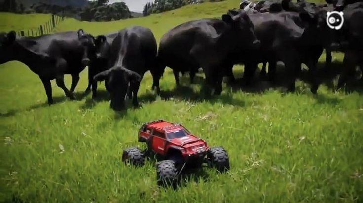 Очень даже просто произвести впечатление на крупный рогатый скот — достаточно…