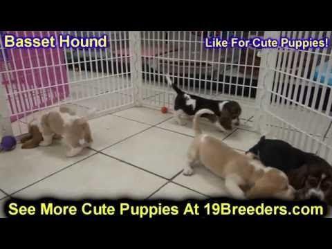 Labrador Retriever Puppies Louisville Ky Basset Hound Puppies