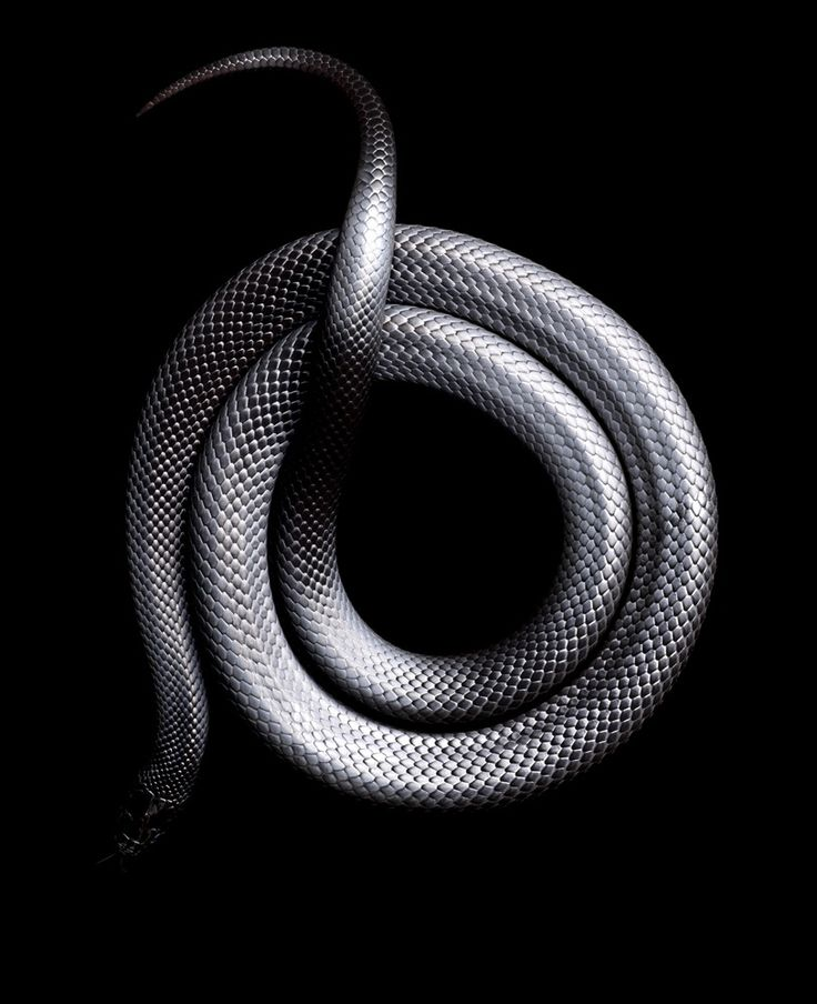 Lampropeltis getula nigrita, commonly called the Mexican black king snake