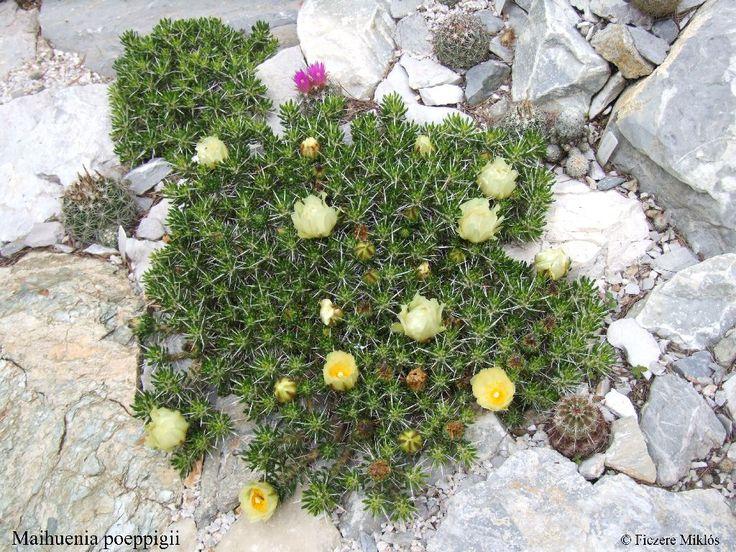 Kaktuszok és egyéb pozsgás növények a sziklakertben | Magyar Kaktusz és Pozsgás Társaság