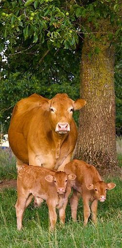 11 Cute Cows for Your Tuesday