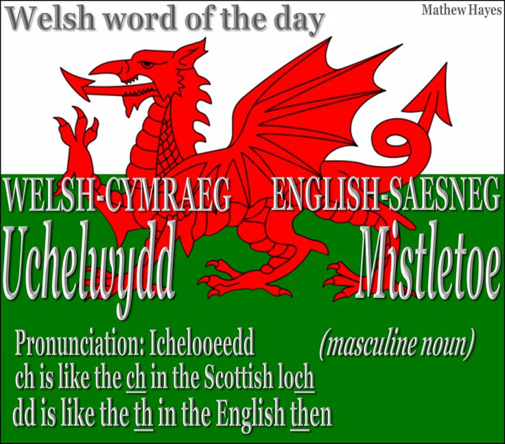 #Welsh Word of the Day: Uchelwydd/ #Mistletoe