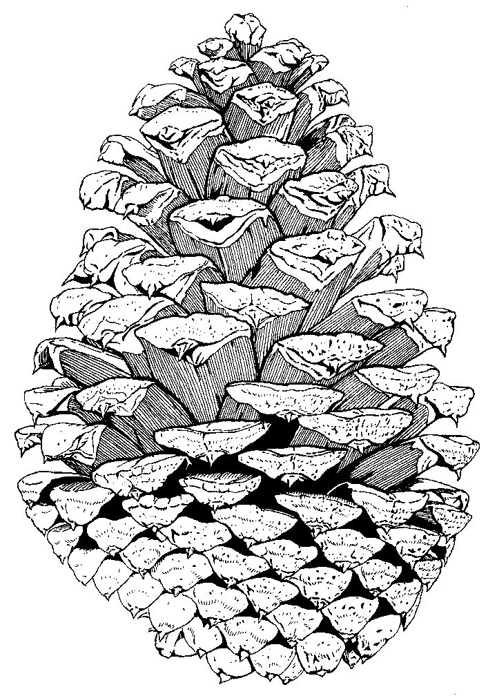 Pinecone technical pen drawing-Colin Rutherford