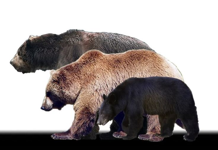 Kodiak Bear Size Comparison | ... comparison, but here it is (Short-faced bear, Kodiak, and Black bear