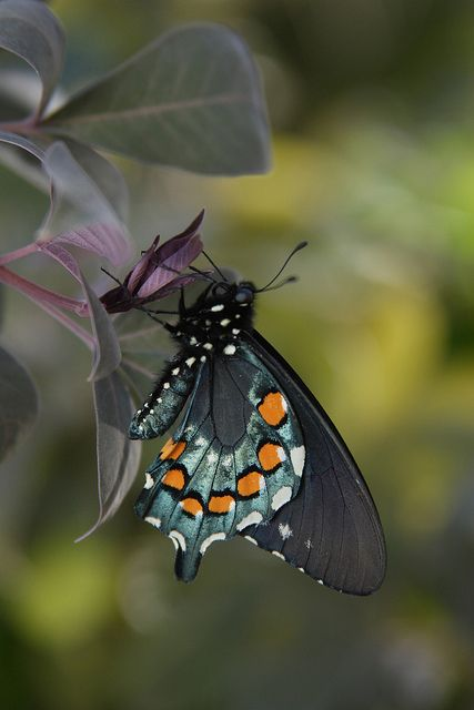Spring Butterfly Exhibit / March 2 - May 12 by desertbotanicalgarden, via Flickr