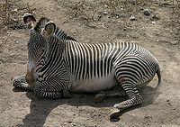 Se conocen como cebra (o zebra, grafía en desuso1 ) a tres especies del género Equus propias de África —Equus grevyi (cebra de Grevy), Equus quagga (cebra común) y Equus zebra (cebra de montaña)— cuya característica más distintiva es su color a base de rayas blancas y negras. Al mismo género que pertenecen también los caballos y los asnos.