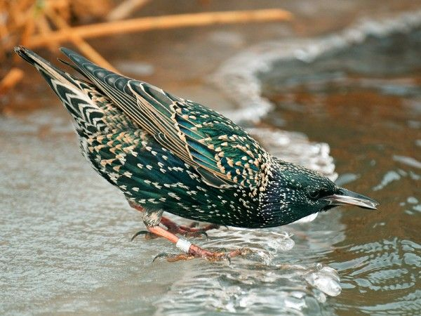 European starling, speeuw. Beautiful bird with lovely colors and bursts of stars.