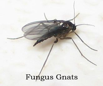 Find How To Get Rid Of Gnat Infestation House Kitchen Bathroom Also Know Control In Indoors Fungus Plants