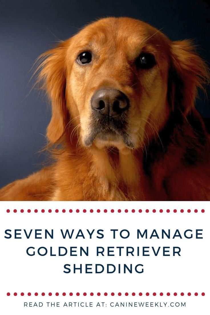 7 Ways To Manage Golden Retriever S Shedding Grooming Diet