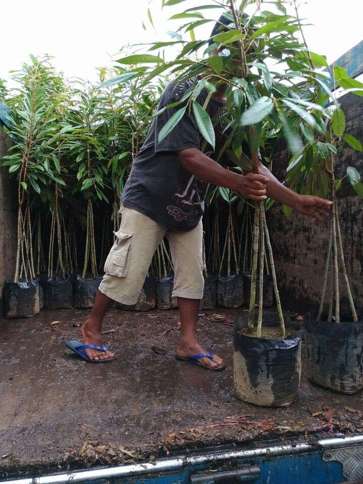 Kirim bibit durian