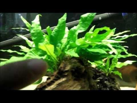 Growing Dense Java Fern - YouTube