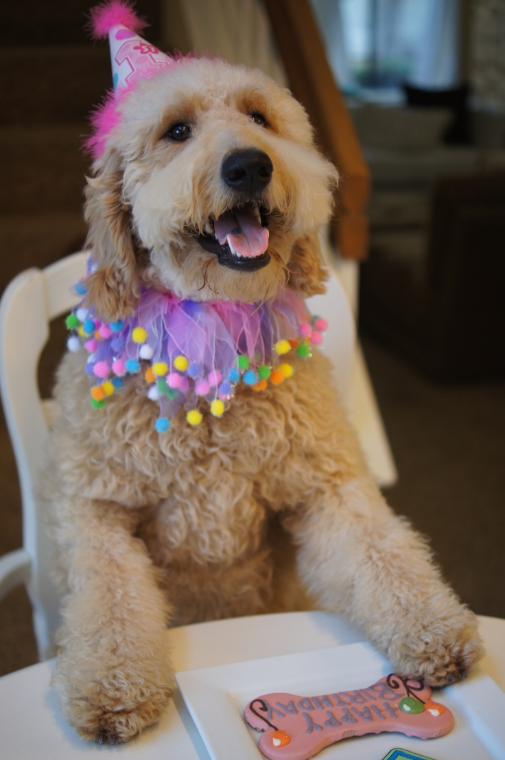 goldendoodle birthday dog rescue island 1st zoe parties goldendoodles birthdays gift funny anniversary discover