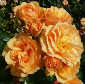 Rose Naming OpportunitiesLUCAS MATTHEW (Dicoctave)   Named in memory of a young boy.