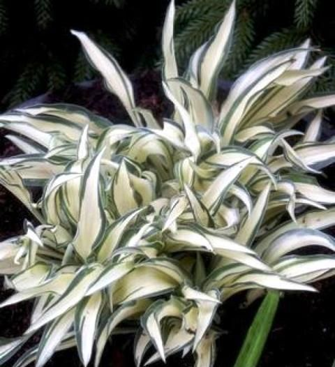 Little Jay Hosta - Shade Perennial Miniature Hosta Plant
