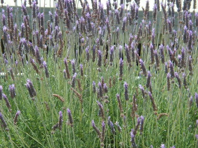 The hills of Adelaide,sweet with the scent of lavender at Lavender Farm