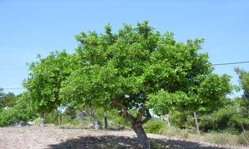 Αγροσελίδα: Δέντρο από σπόρο/κουκούτσι !