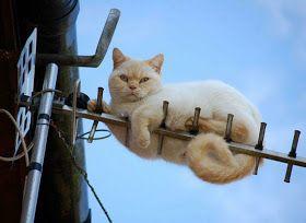 Felis catus - the cat