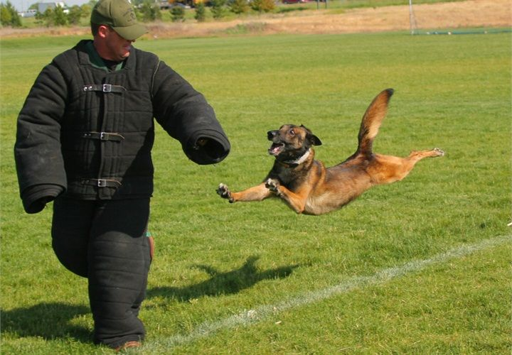 Gallery For gt Belgian Malinois Police Dogs
