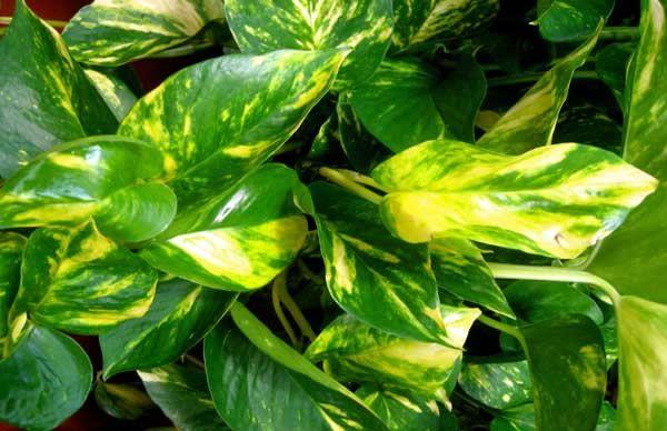 1000 images about plantas on pinterest sons plants and - Plantas de interior que necesitan poca luz ...