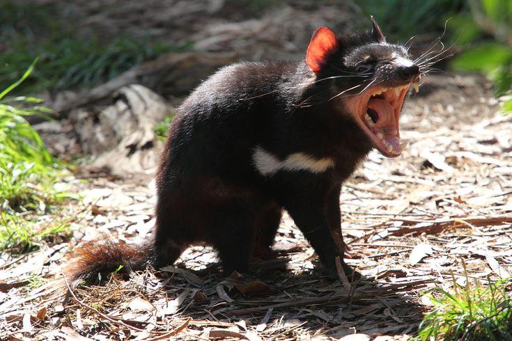 * Diabo-da-Tasmânia *  (Sarcophilus harrisii).  Cleland Wildlife Park.