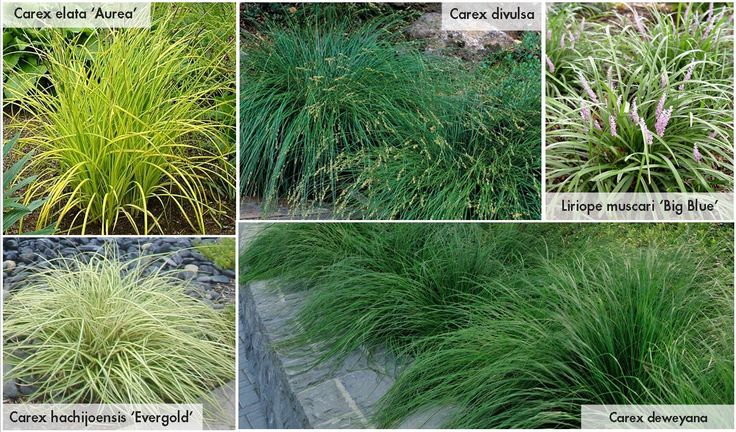 Landscaping With Evergreens And Grasses : Evergreen grasses ornamental