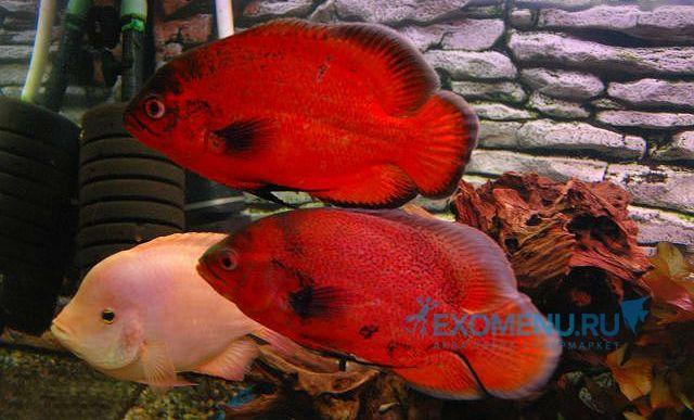 Астронотус красный (Astronotus ocellatus var. red) 6-7см.. Цихлиды