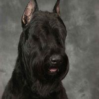 Schnauzer-gigante,the best breed,smart,strong,the best friend ,iloved