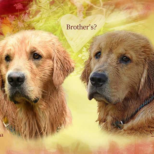 Taiga&Fuzzy * さやままんちのタイガくんと、我が家のファジー * ちょうど1歳違いなんだけど、兄弟かってぐらい似てるんです * #ilovegolden_retrievers  #pets_perfection  #my_loving_pet  #dogs_of_instagram  #instadogsfeature #pupdoggydog  #アトリエFarsley  #bestwoof  #dog_features  #dogsofinstagram  #ilovemydog  #puppytales  #instagramdogs  #dogstagram  #nature_cuties  #FurrendsUpClose  #goldens_ofinstagram  #igclub_dogs  #gloriousgoldens  #instadog  #goldenretriever  #puppytrip  #retrieversgram  #welovegoldens  #Excellent_Dogs  #puppiesforall…
