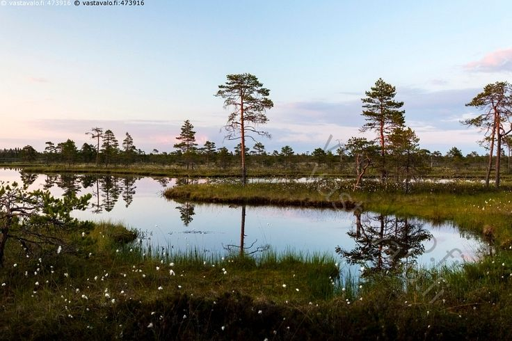 Kesäyö Kauhanevan kansallispuistossa - Kauhaneva Kauhanevan kansallispuisto kelomänty kermikeidassuo kesä kesäkuu kesäyö lampi luonnonsuojelualue maisema maisemakuva neva suo suokasvi suolampi suomaisema suomänty tupasvilla