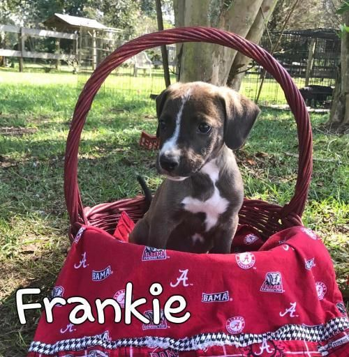 Frankie is an adoptable American Bulldog searching for a forever family near Spanish Fort, AL. Use Petfinder to find adoptable pets in your area.