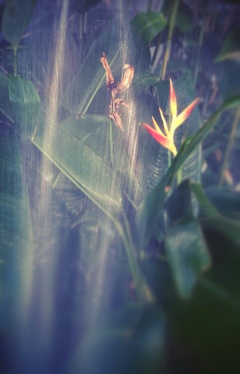 Heliconia in shower