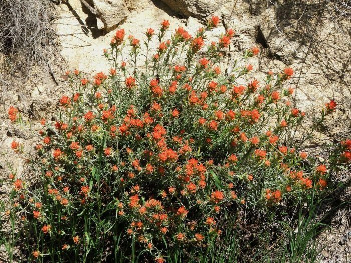 Castilleja foliolosa (Woolly Indian Paintbrush) Rainfall: 30-80, Max. Width: 1m, Max. Height: 1m. San Jose native. Check availability.