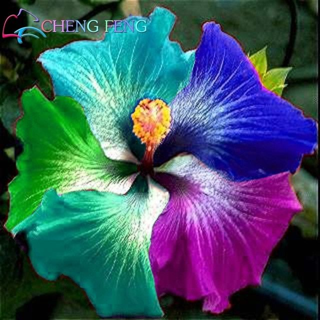 100 Pcs Giant Rainbow Hibiscus Flower Plants Chinese Diy Plant Hibiscus Plants Best Gift For Your Kids Easy Gr Hibiscus Plant Growing Hibiscus Hibiscus Flowers