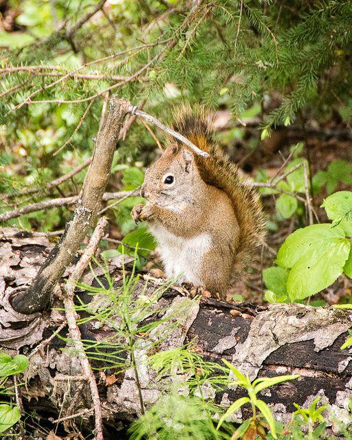 Meet the deer, elk, squirrels, beavers, bison, loon, and fox who live in Prince Albert National Park.