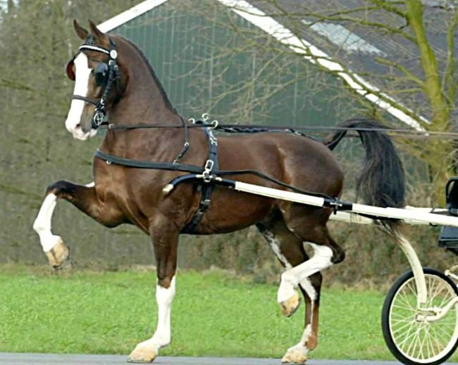 Durch Harness Horse, or Tuigpaard, A refined, high-stepping driving horse developed only recently from The Gelderlander and Groningen. Standards for the breed are rigid, administered by the KWPN. Its high action is natural. Shoe thickness is specified and no pads are allowed, to demonstrate what a sound horse can do. The US can learn a lot.