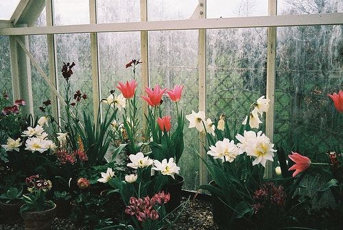 Greenhouse: Green Houses, Winter Greenhouses, Glasses, Indoor Gardens, Greenhouses Conservatory Pots,  Glasshous, Backyard, Flowers, Serr Greenhouses