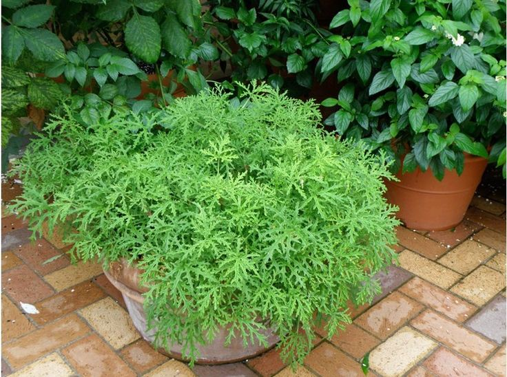 12 Pretty Plants That Naturally Repel Mosquitoes Plantes