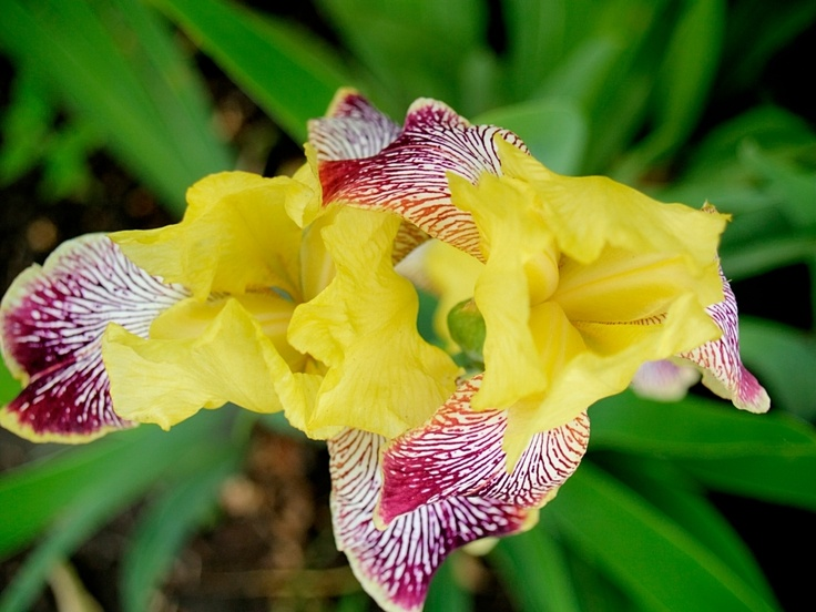 best iris images on, Beautiful flower