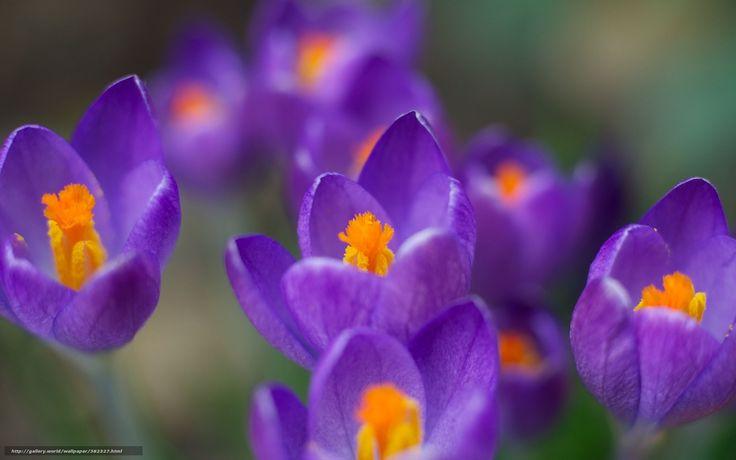 descarca imagini de fundal Branduse,  flori,  violet,  primvar Imagini de fundal gratuite pentru rezoluia desktop 1680x1050 — imagine №382327