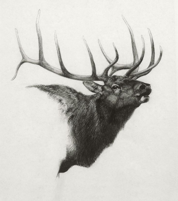 Elk, graphite on paper by Heather Theurer