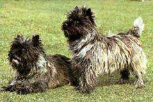 Cairn Terrier - Foto di cani e cuccioli - La community di chi ama i cani