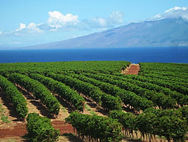 Kaanapali Coffee Farms on our West Maui Coffee Tour | Maui ...