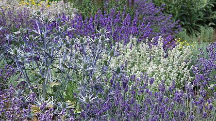 """Hans: """"Eryngium en Lavandula. Eryngium combineert geweldig met de verschillende soorten Lavendel. De groep met witte Lavendel zorgt voor de rust deze border."""""""