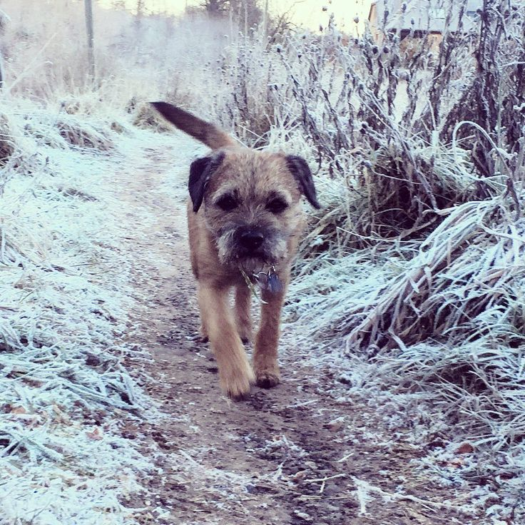 """Roky Boyd on Twitter: """"No snow here pals just a heavy frost but -7 chilly on da precious paws 😬🐾❄️ #btposse https://t.co/sOwRMbS0JM"""""""