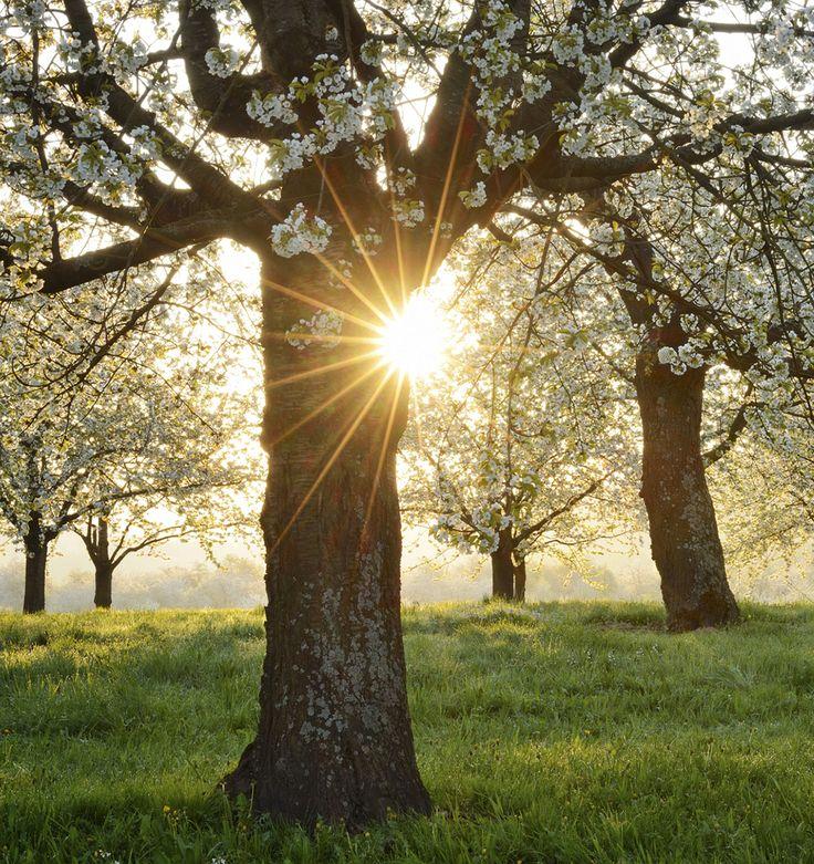 Sunrise over flowering spring trees in Germany #GrouponGetaways