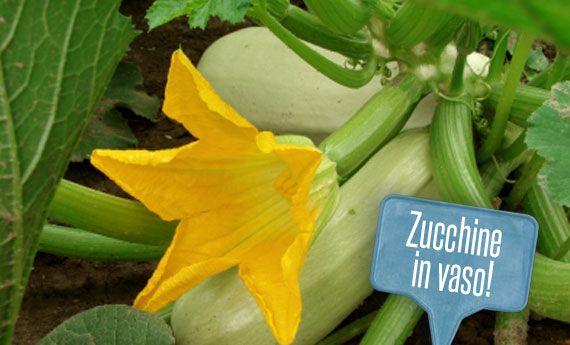 Orto sul balcone: come coltivare le zucchine in vaso! | Giardinieri in affitto