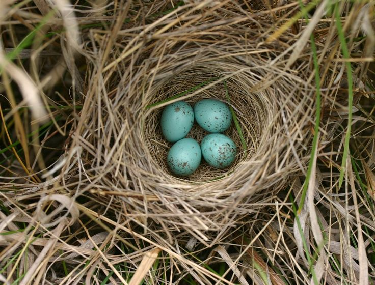 nest | Eggs in Sparrow Nest
