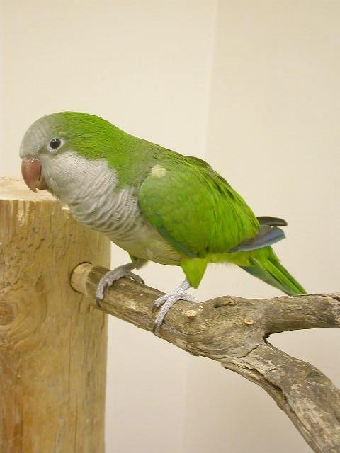 parrot   quaker birds central amp south american parrots
