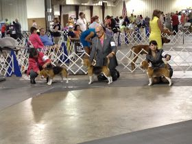 I checked out the AKC All-breed Show at the Central Florida Fairgrounds Saturday. I got to see a bunch of cute 13 inch and 15 inch beagles i...